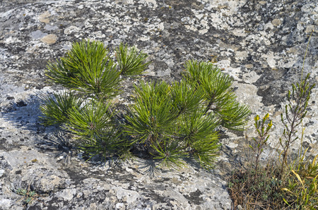 relict: Tiny relict Crimean pine on the rock.