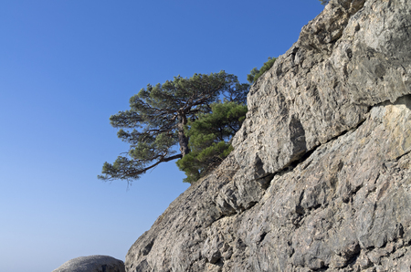 relict: Relict pine on a rock against the blue sky. Crimea.
