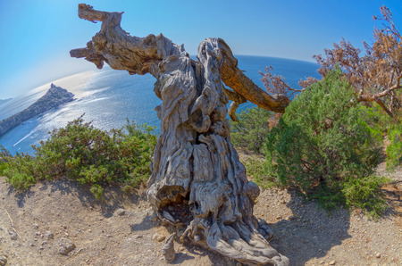 relict: Fisheye view on a cracked trunk of a dried relic pine. Crimea mountains.