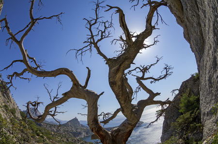 relict: Fisheye view of the dried relict pine in the rocks on the seashore. Crimea. Stockfoto