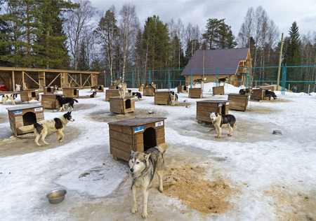 sled dogs: Dogs in sled dogs farm. Early March. Karelia, Russia. Editorial