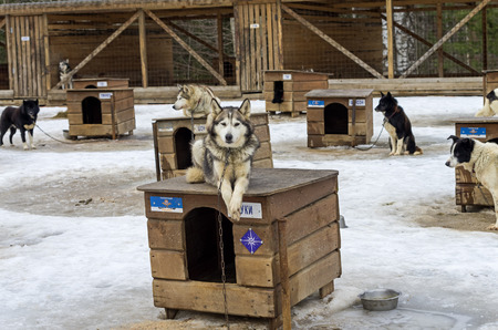 sled dogs: Dog lying on the roof of his kennel. Sled dogs farm in Karelia, Russia.