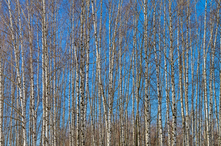 blanch: The slender trunks of young birches against the blue sky. Early spring.