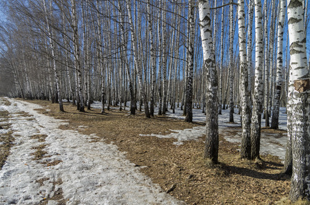 blanch: The edge of a birch grove on a sunny day in March.