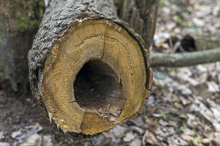 duramen: Corte transversal de un �rbol seco con un agujero en el lugar del duramen podrida.