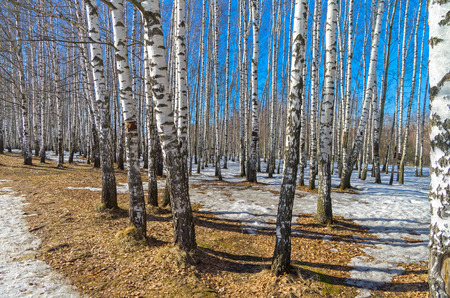 blanch: Birch grove on a sunny day in March. Stock Photo