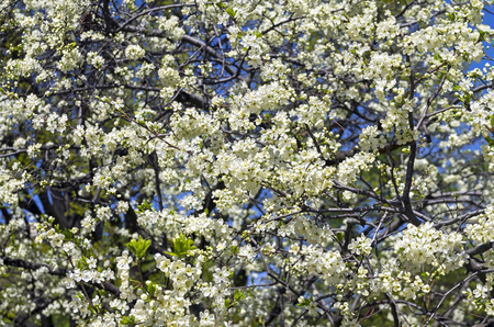 blanch: Background formed by flowering plum against the blue sky. Stock Photo