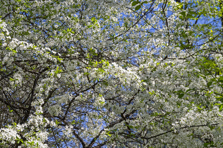 interweaving: Interweaving branches of the flowering cherry tree makes a beautiful background.
