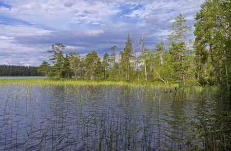 cane creek: Reeded creek on the Pistayoki  river. Karelia, Russia.