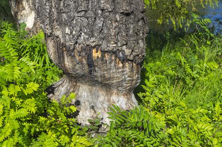 pista: Traces of the beaver teeth on the large aspen. Pista River, Karelia, Russia.