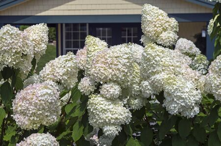blanch: Close-up of blooming hydrangea arborescens. Large white blossoms.