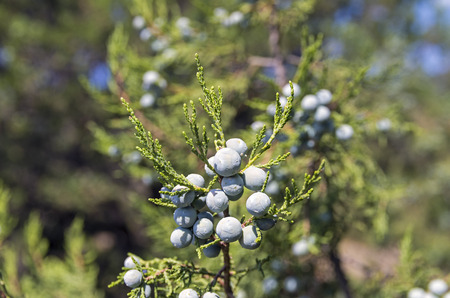 relict: Close-up of cypress cones of a relict juniper tree. Crimea, September.