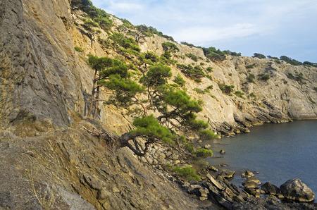 steep: Relic pine trees on a steep rocky seashore. Crimea.