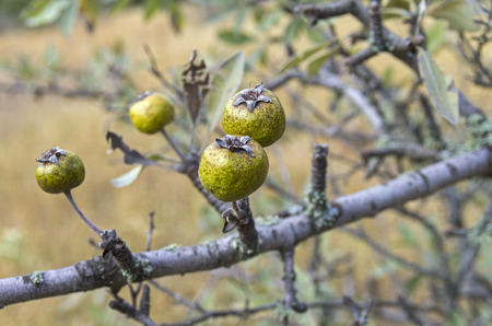wilding: The fruits of wild pear. Forest in the Crimean mountains.