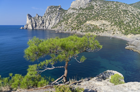 relict: Small relict pine on a cliff above a small bay. Crimea.