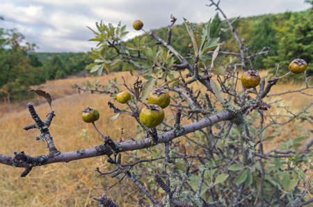 wilding: Wild Pear. Forest in the Crimean mountains. September. Stock Photo