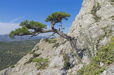 relict: Relict pine on a steep mountain slope. Crimea.