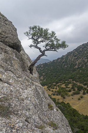 relict: Relic pine growing on a steep hillside, against the gray sky on a cloudy day. Crimea. Stock Photo