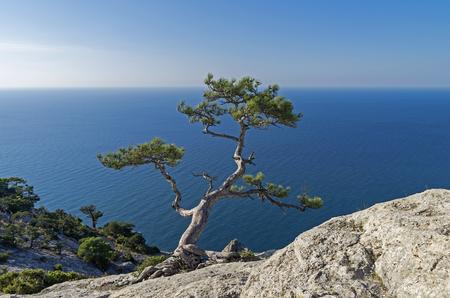 Relic pine in the rocks on the seashore. Crimea. Stock fotó