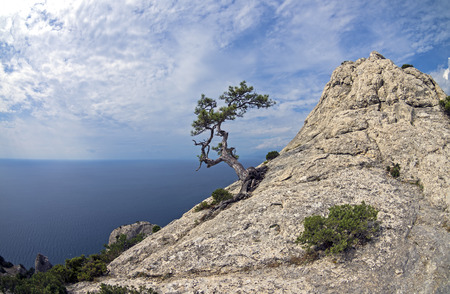 relict: Relict pine on mountain peak on the background of the sea. Crimea. Stock Photo