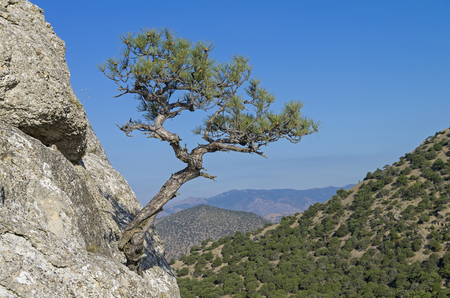 is cloudless: Relic pine growing on a steep hillside, against a cloudless sky. Crimea.
