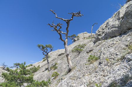 relic: Silhouette of dried relic pine against the blue sky. Crimea. Stock Photo