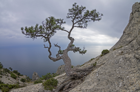 relict: Relict pine on a rock against  the gray overcast sky. Crimea. Stock Photo