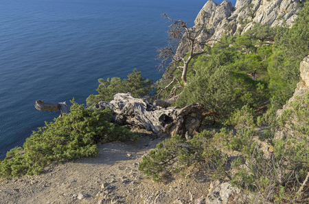 relict: Fallen relict pine on the trail that runs along the hillside above the sea. Crimea.