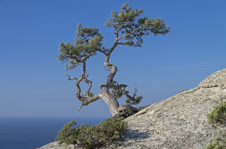 relict: Relict pine on a rock against the blue cloudless sky. Crimea.
