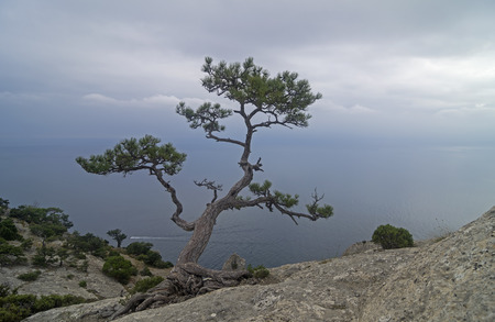 relict: Relic pine in the rocks on the seashore on a cloudy day. Crimea.