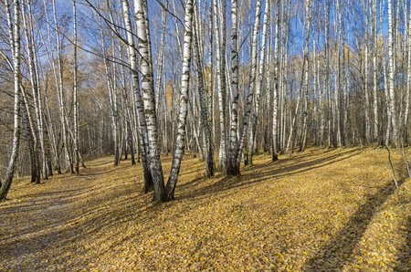 frondage: Birch Grove in the late autumn. Moscow, Russia. Stock Photo
