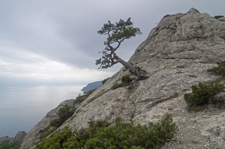 relict: Relict pine on mountain peak on the background of the sea on a cloudy day. Crimea.