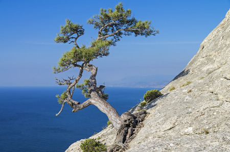relict: Relict pine on a steep cliff above the sea. Crimea.