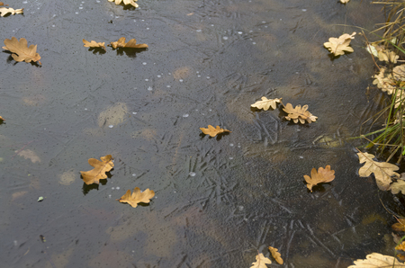 thin ice: Fallen oak leaves on thin ice of the pond. November.
