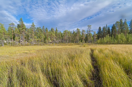 swampy: The path through the swampy meadow on the edge of the forest. Karelia, Russia. Stock Photo