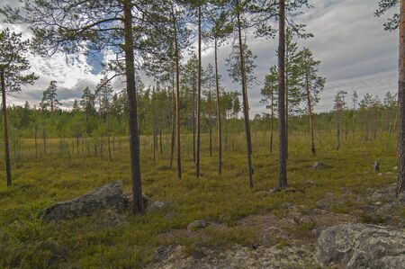 north woods: Dried swamp in the north woods. Karelia, Russia.