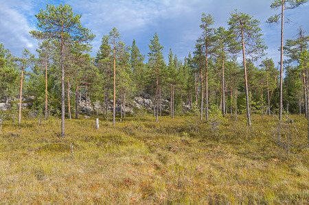 swampy: Swampy forest edge. Cloudy summer day. Karelia, Russia.