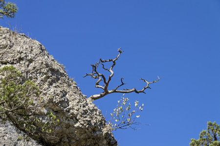 relict: Silhouette dried relict pine on the background of bright blue cloudless sky. Crimea.