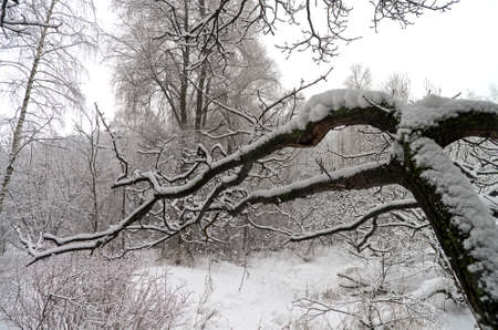 nasty: Snow-covered tree branches in winter wood. A nasty day.
