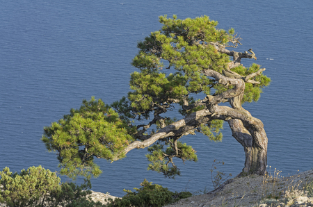 relict: Relict pine on the background of the sea. Crimea.