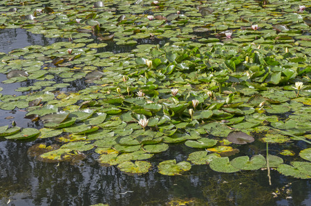 nenuphar: Thickets of water lilies on a pond. Sunny summer day.