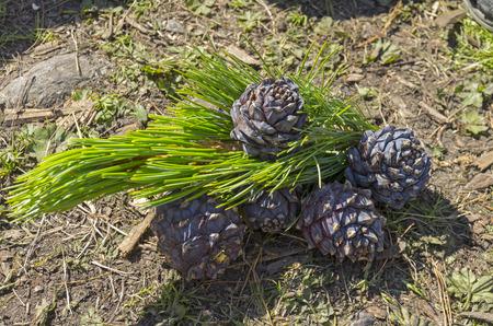 pinaceae: Fresh cones of Siberian cedar pine. Altai Mountains, Russia.