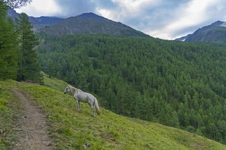 mountainside: White horse on the mountainside. Overcast summer morning. Altai Mountains, Russia.