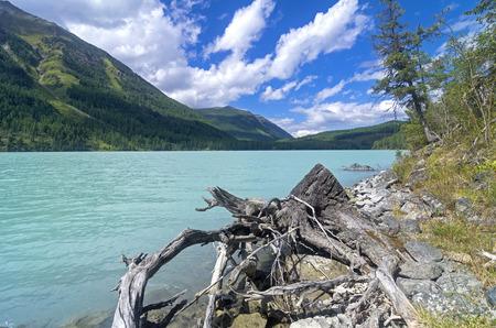 Stump on the lake shore. Kucherla lake. Altai Mountains, Russia. Sunny summer day.