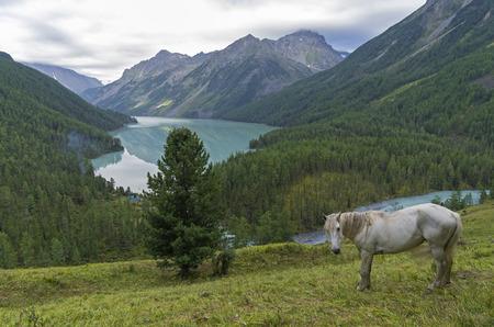 White horse on a hillside.  Kucherla lake. Altai Mountains, Russia. Overcast summer morning.