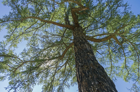 Crown of a Siberian larch on a background of blue sky. Altai Mountains, Russia. Sunny summer day. Stock Photo