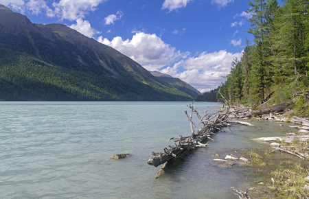 cusp: Dry tree in the water near the shore. Kucherla lake. Altai Mountains, Russia. Sunny summer day.