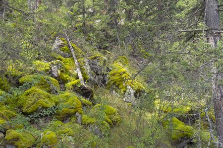 impervious: Impassable taiga. Altai Mountains, Russia.