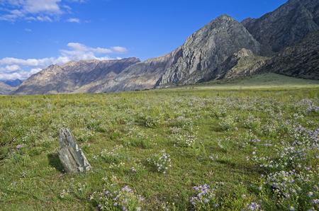 katun: Daisies in a mountain meadow. Valley of Katun river. Altai Mountains, Russia. Sunny summer day.