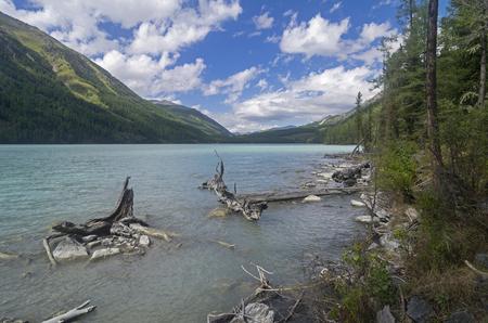 Snags near the shore. Kucherla lake. Altai Mountains, Russia. Sunny summer day.